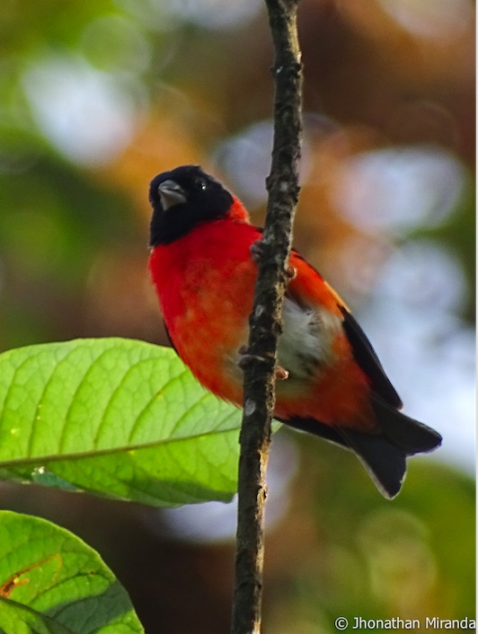 Red Siskin Initiative – Update #3