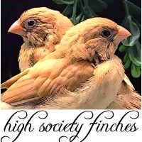 High Society Finches – 1/1/2019